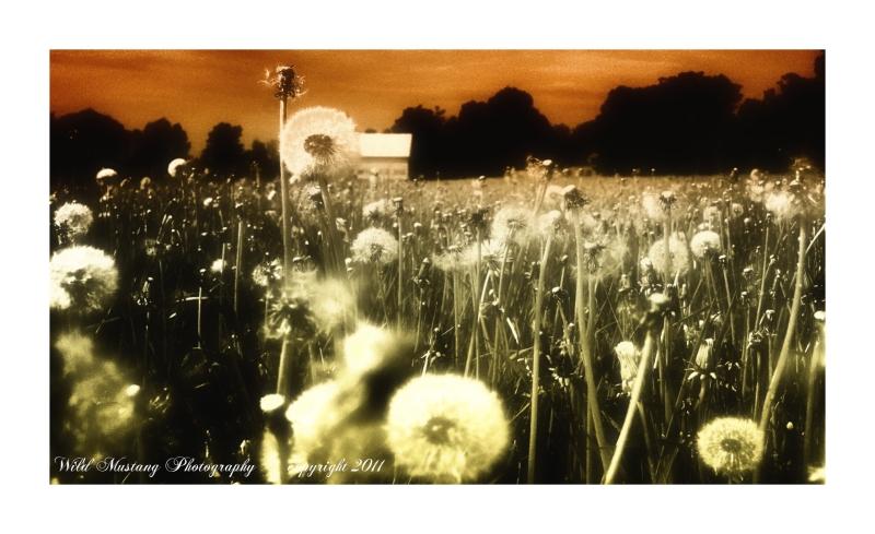Field    Dandelions