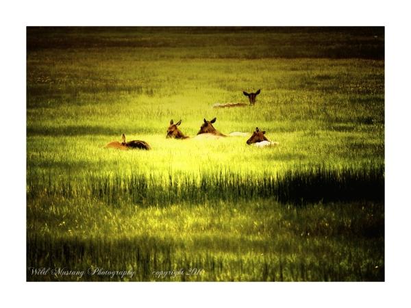 Elk  grasses