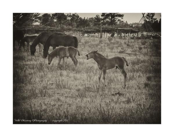 Foal, horses, wild mustangs