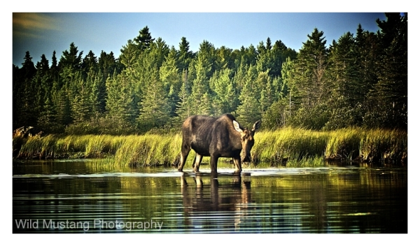 Water, Moose, Trees