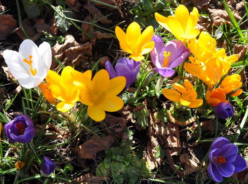 Nature, printemps, crocus.