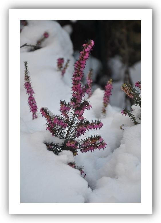 Mon jardin sous la neige. 2