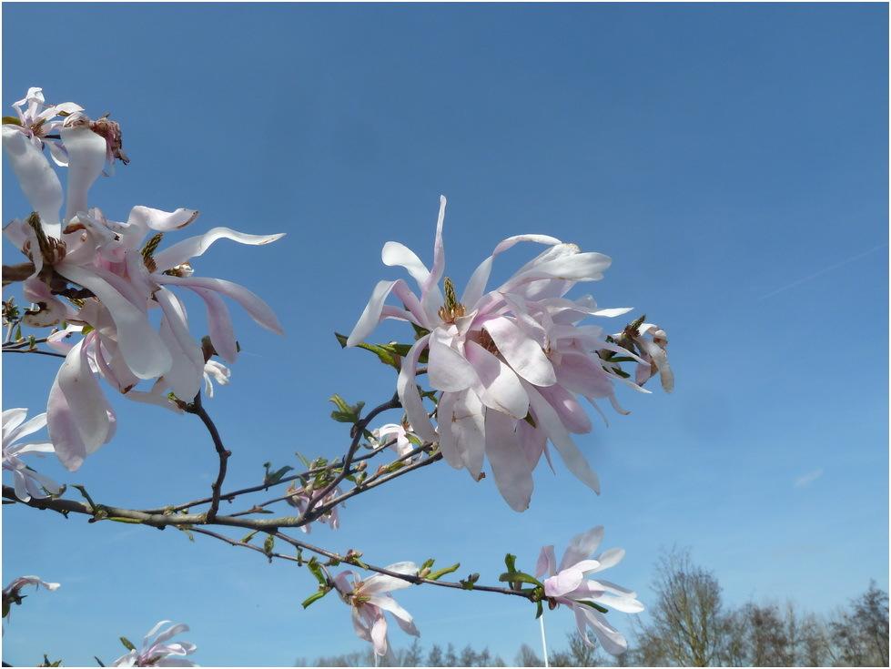 Nature, arbres, fleurs, magniolia.
