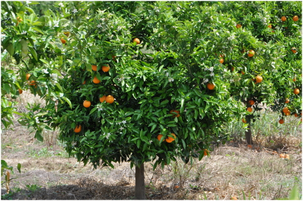 Nature, arbres, oranger.