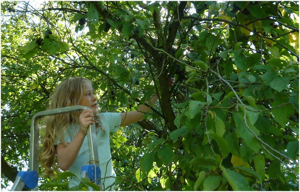 C'est la récolte des prunes.