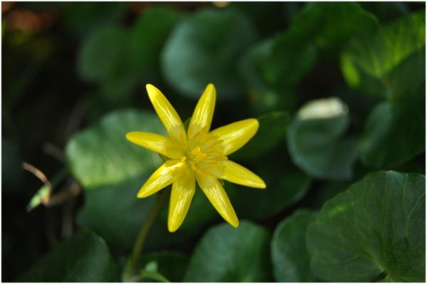 P'tite fleur jaune.