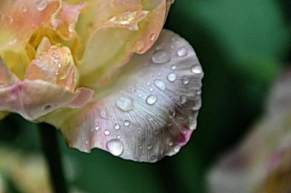 La dernière tulipe.