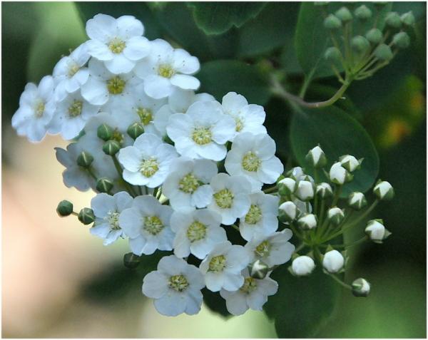 Bouquet  de fleurs blanches.