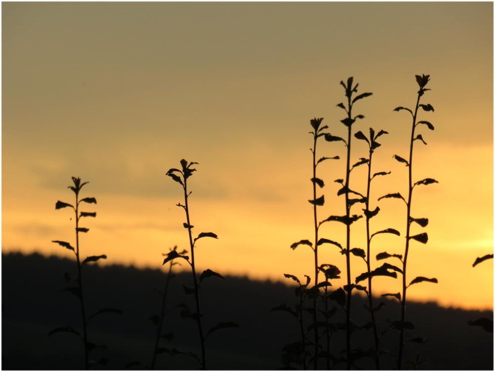 Herbes folles au soleil couchant.