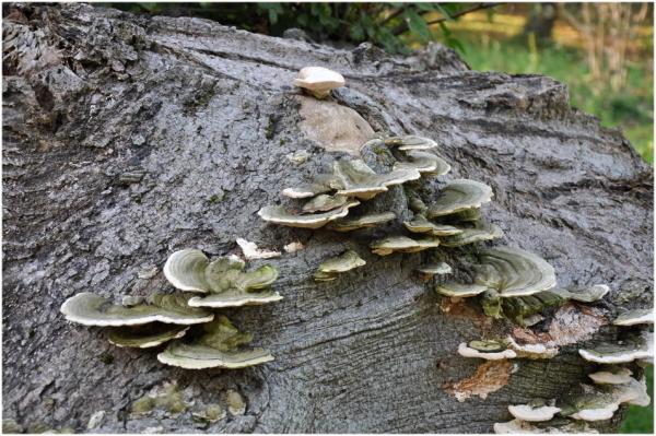 Champignons sur bois!