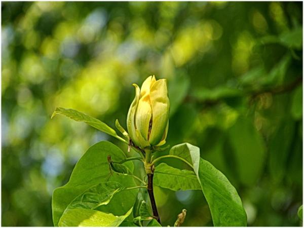 Joli bouton de fleur d'or.