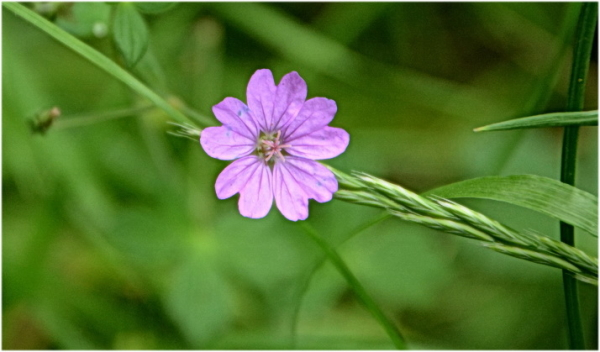 Petites fleurs sauvages. 5