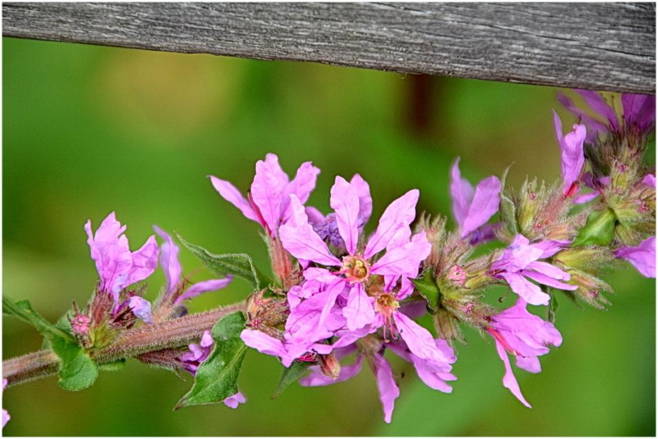 Fleurs de marais.