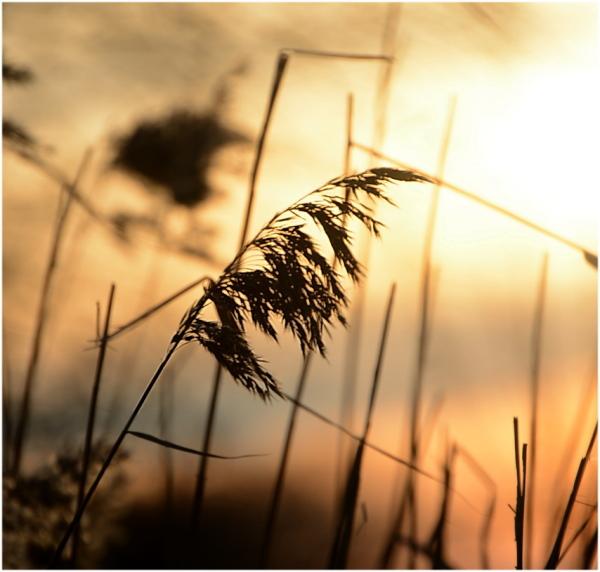 Graminée au soleil couchant.