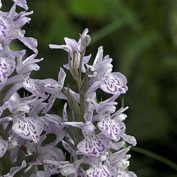 Orchidée sauvage.