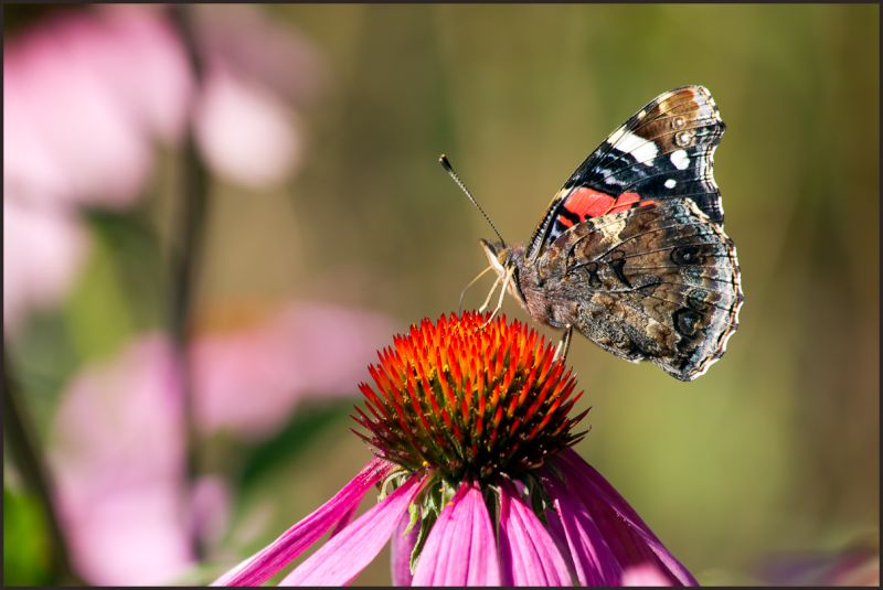 side view of a Red Admiral butterfly