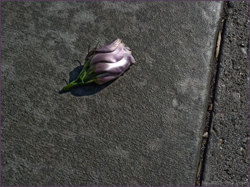 lost rose bud