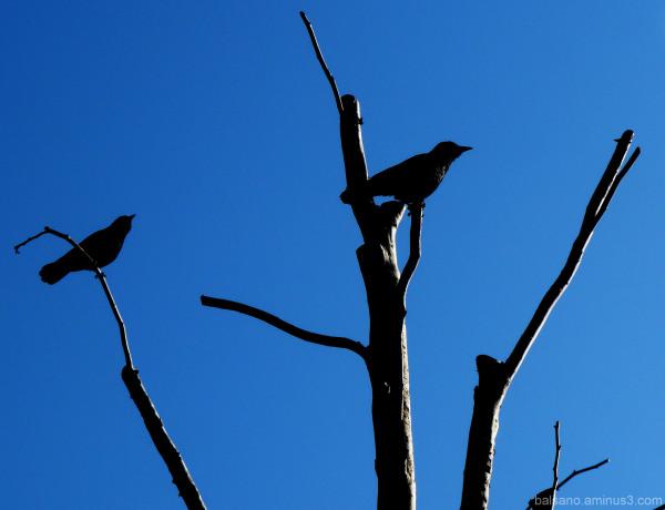 Birdies in Blue
