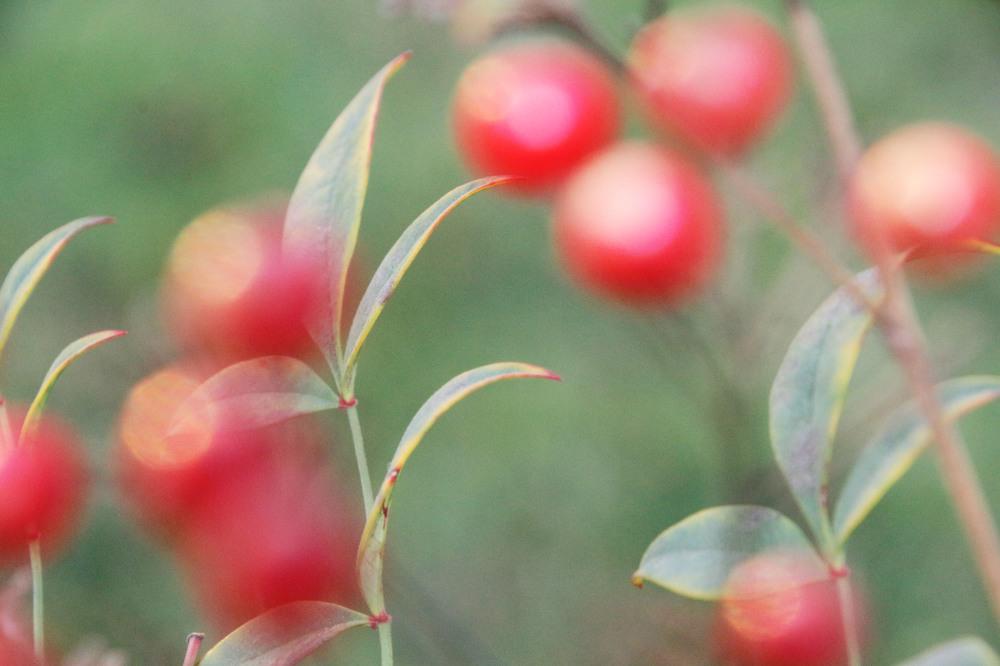 A Berrylike bush
