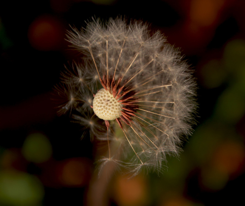 winter dandelion