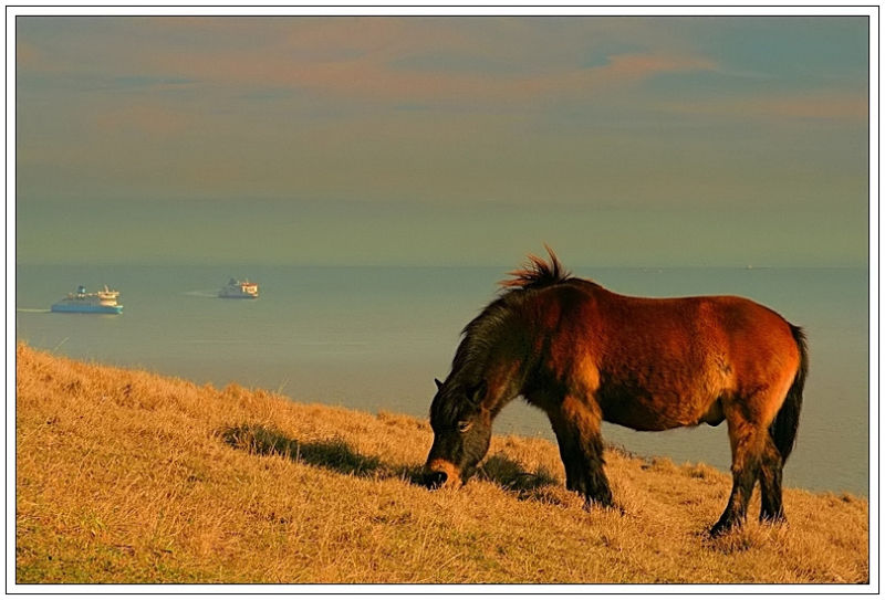 White Cliffs of Dover poney Exmoor