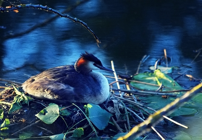 grebe oiseau bird evening soir