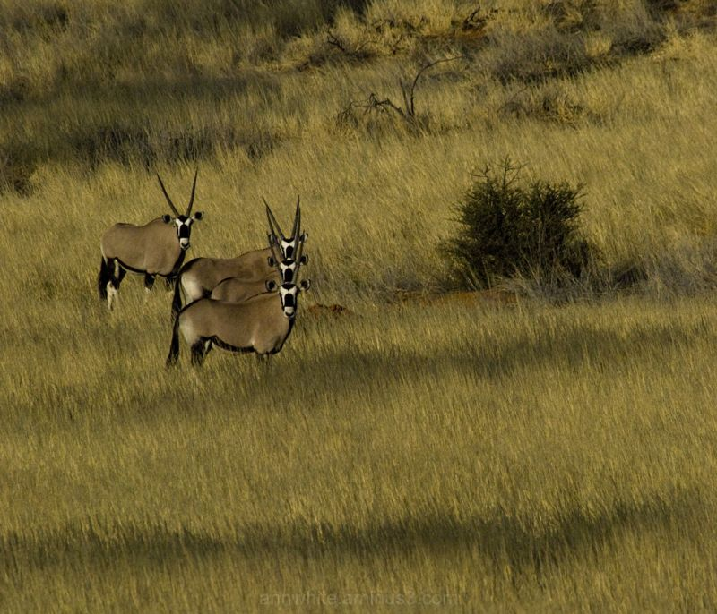 Three Oryx and a Fourth - take 2