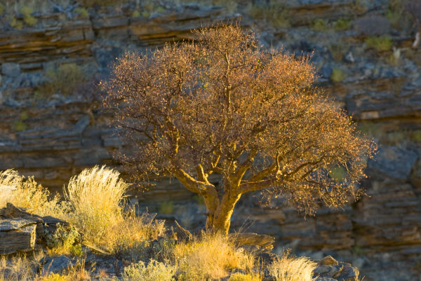 Camelthorn tree - Acacia erioloba