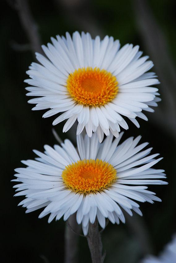 Celmisia spectabilis, New Zealand Daisy