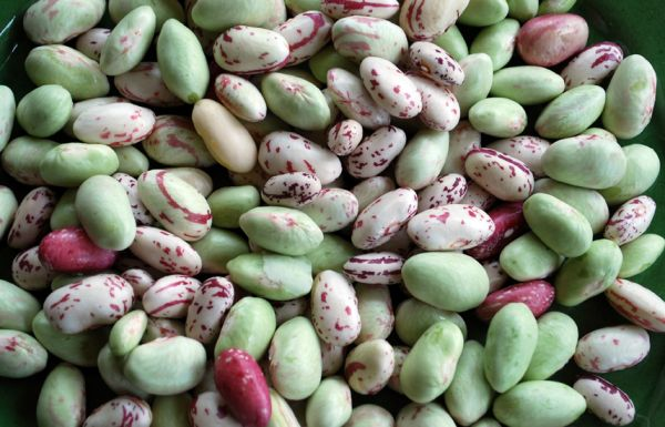 Nearly Borlotti Bean Season