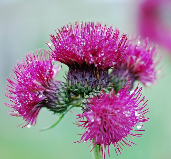 Not Quite a Thistle