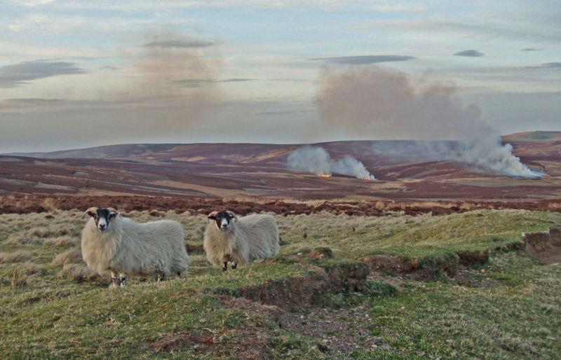 Hefted Sheep