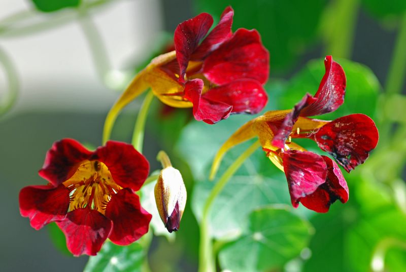 The Peppery Nasturtium