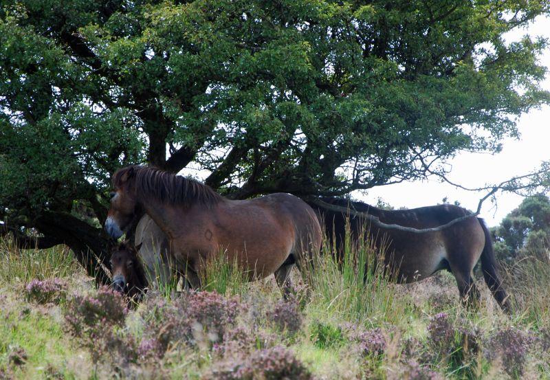 Exmoor Ponies