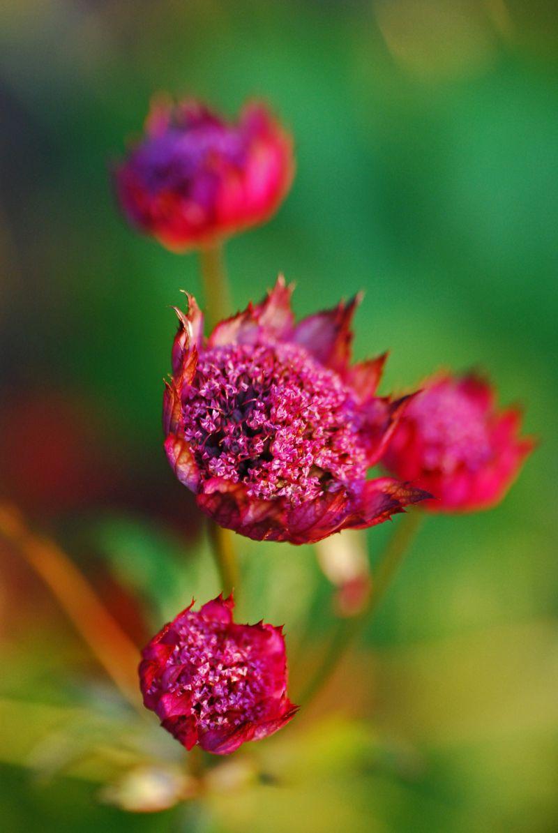 Fuchsia Lady