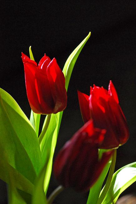 A Normal Tulip!