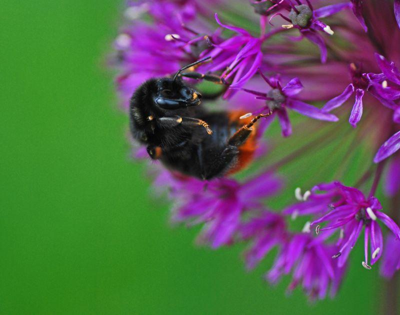 Acrobatic Bee