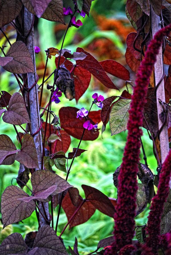 A Purple Bean