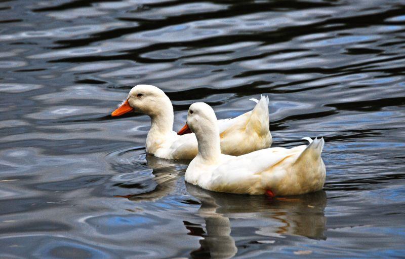 Thames Ducks