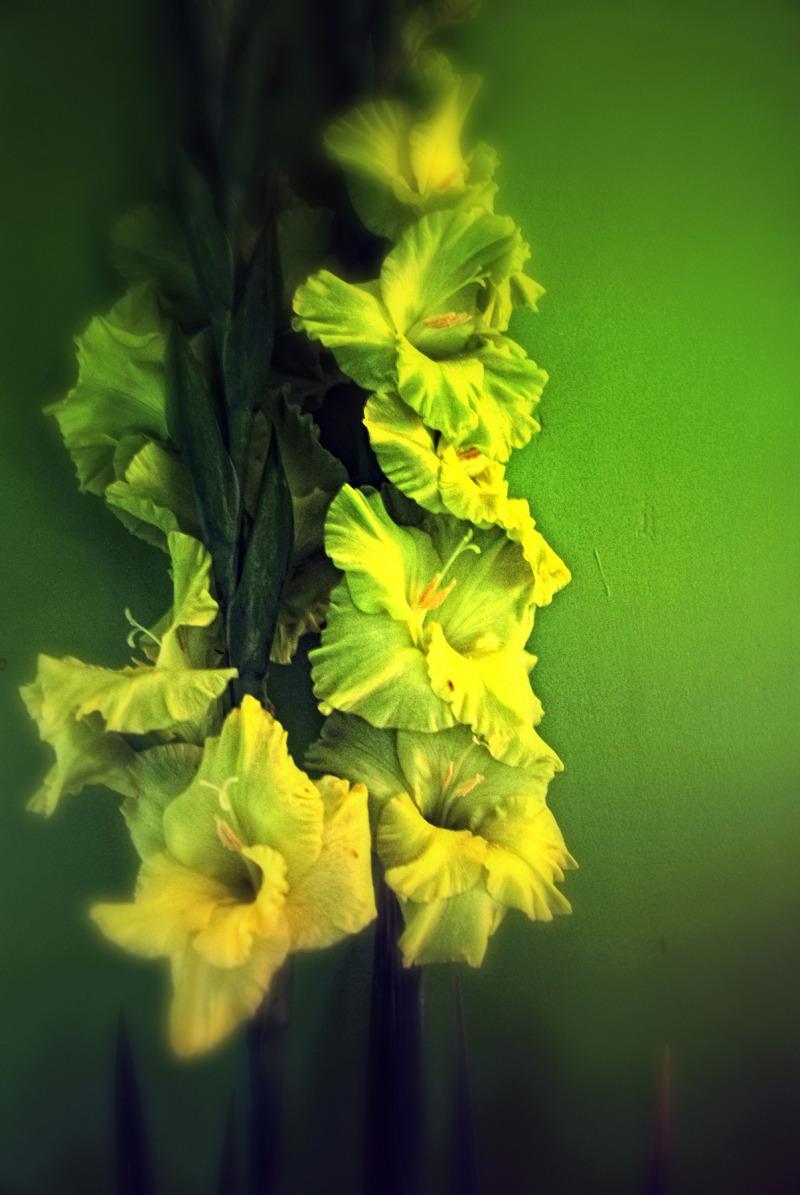 Green Gladioli