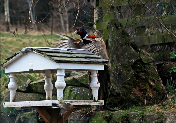 The Pheasant and the Bird Feeder 1/3