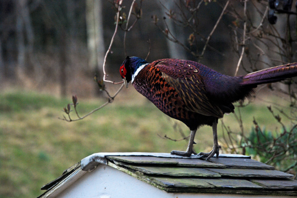 The Pheasant and the Bird Feeder 2/3