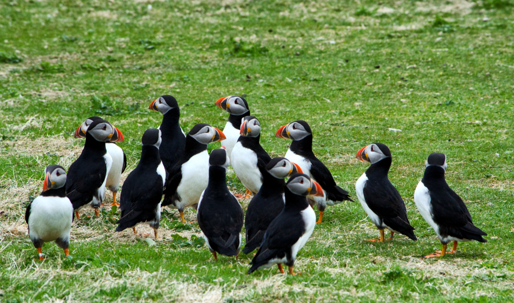 Puffins Are Us   1/5
