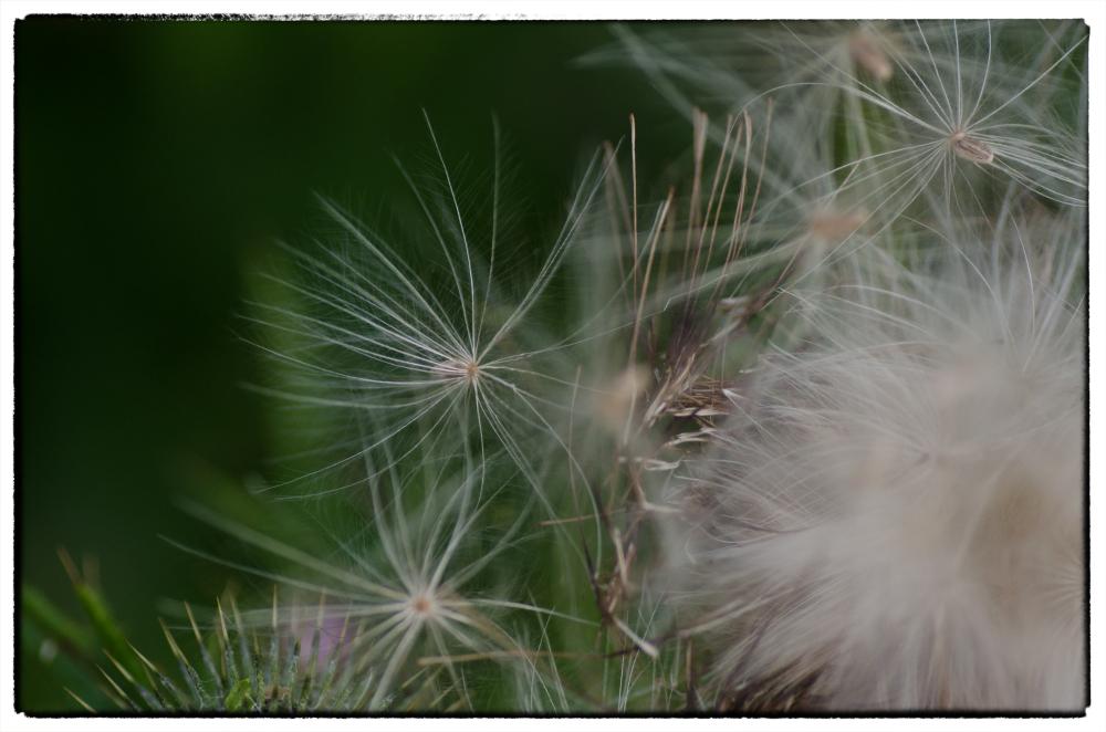 Parachute seeds