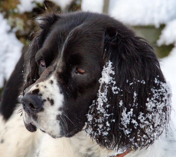 Skye With Snow Ears