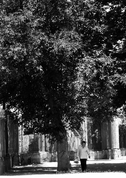 old man , old tree