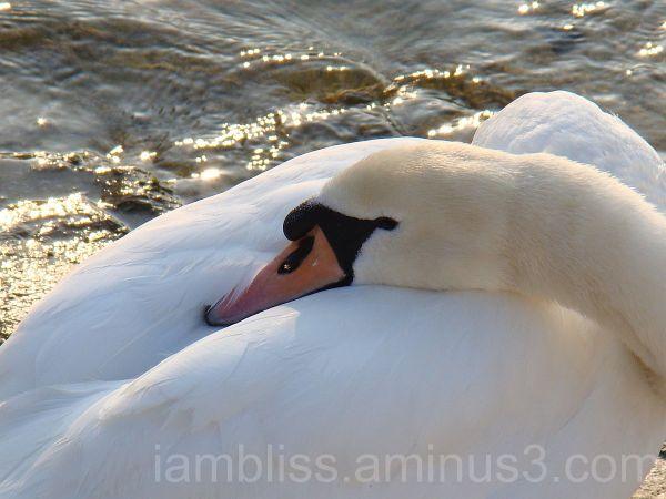 The swan series is dedicated to Sarah