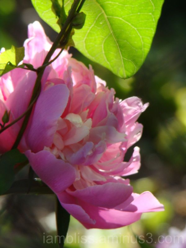 Different flower, same bush