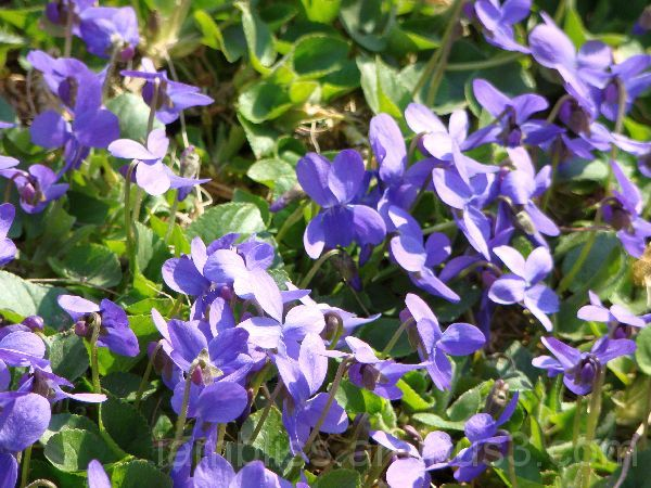 a bunch of violets
