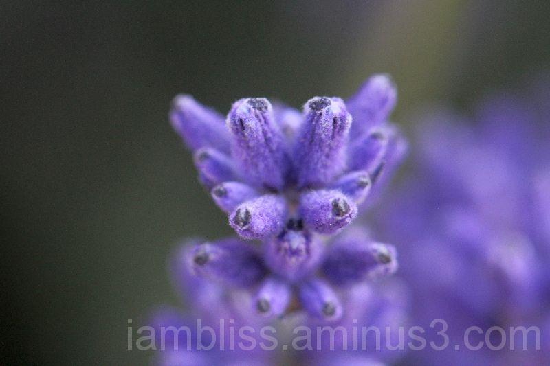 Lavender tip
